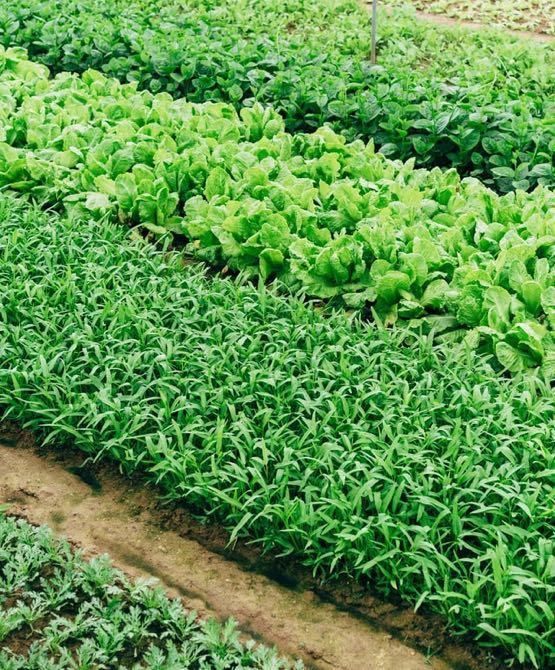 Salatanbau Steiermark